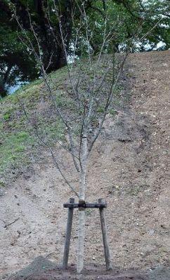 植樹された桜の木